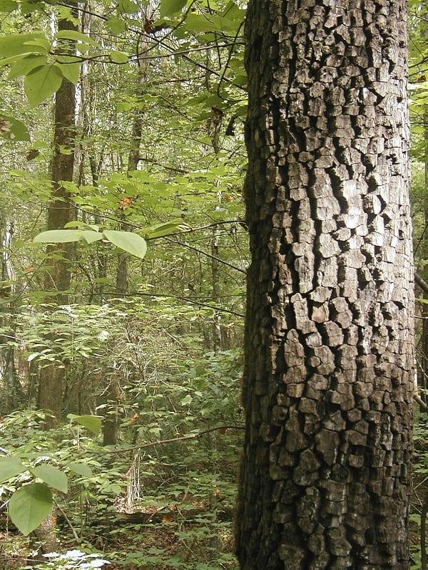 dogwood_bark-web