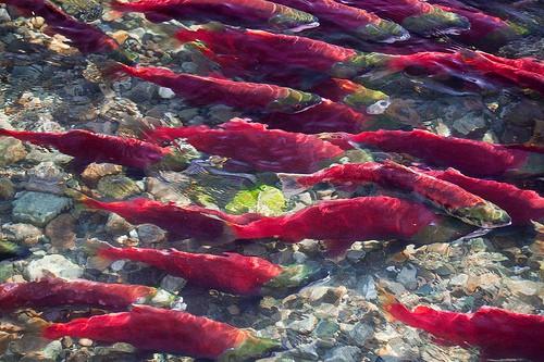 Massive Adams River Sockeye Salmon Migration