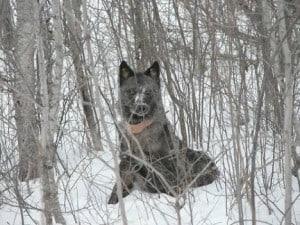 wolf-with-radio-collar