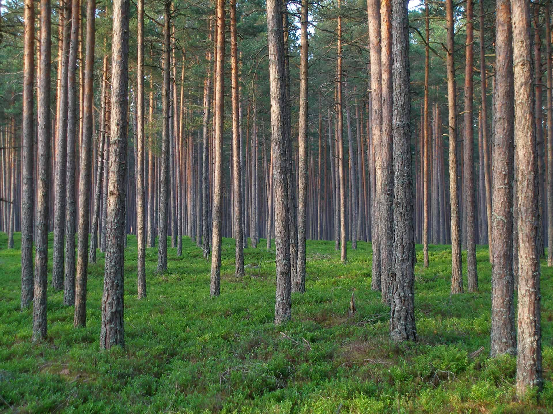 Sound forest management a new century of forest planning Pine tree timber