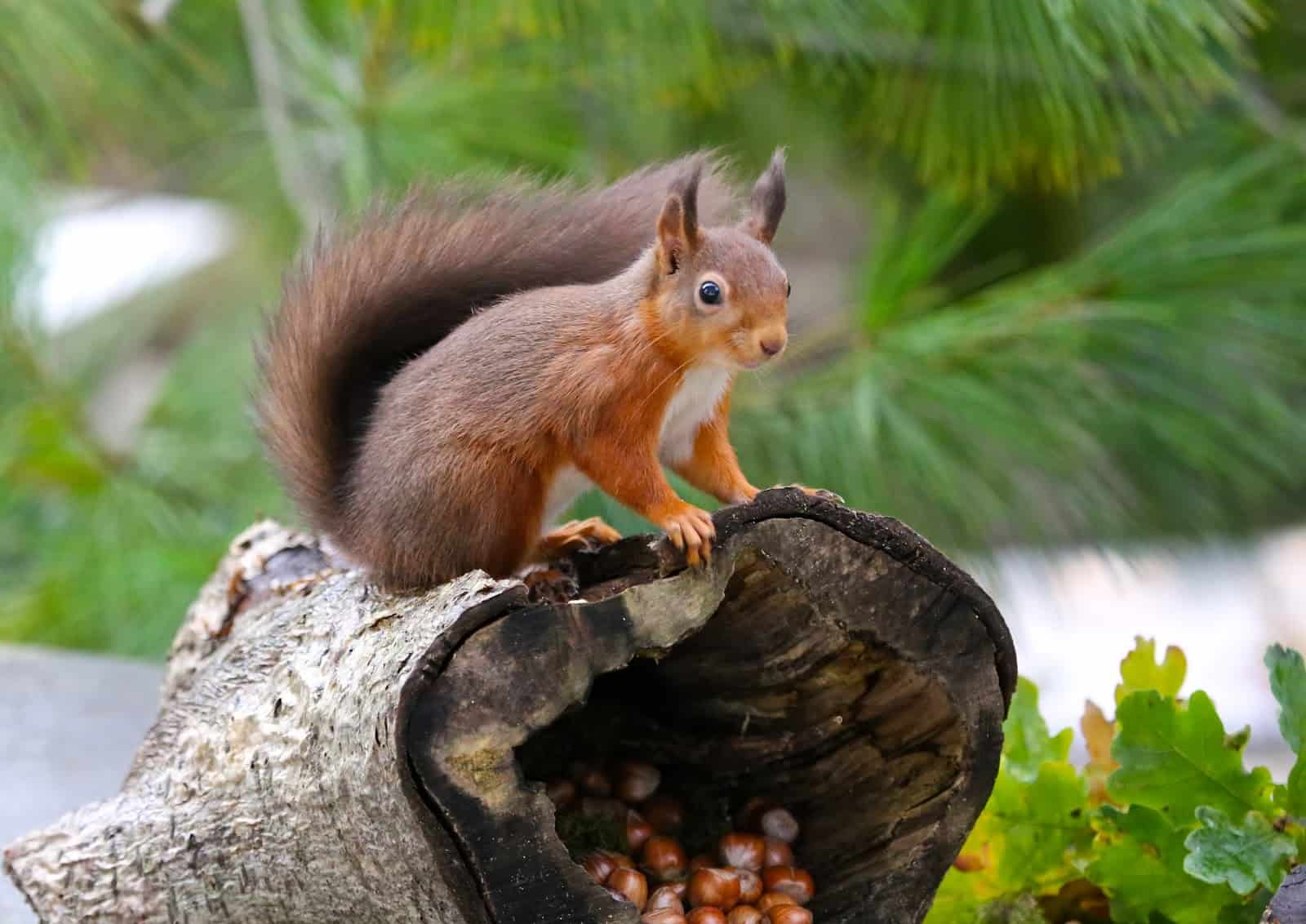 I think that this is a Red Squirrel from Great Britain, but you get the idea...